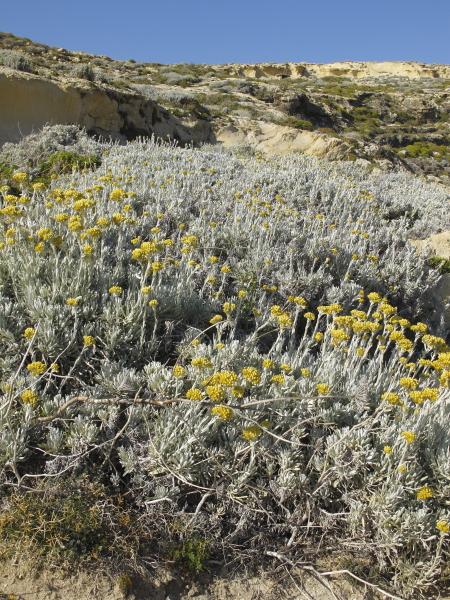 Helichrysum melitense a Dwerjra