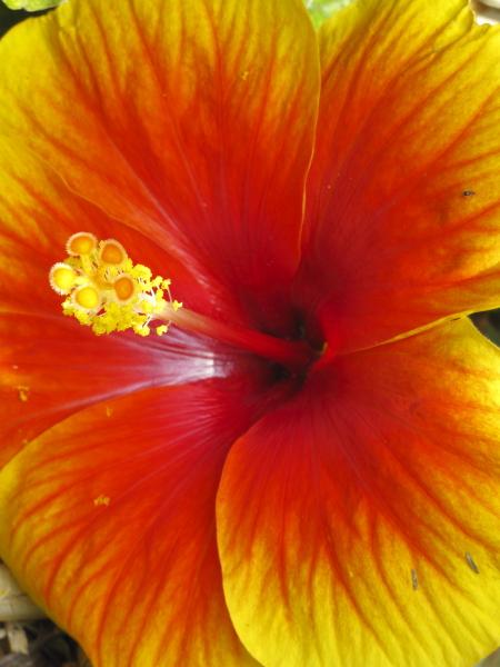 Hibiscus hybride