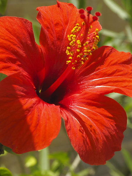 Hibiscus rosa sinensis Argotti