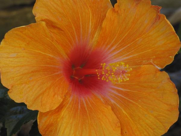 Hibiscus rosa sinensis Naranja