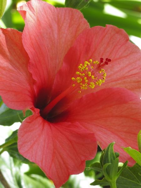 Hibiscus rosa sinensis madère