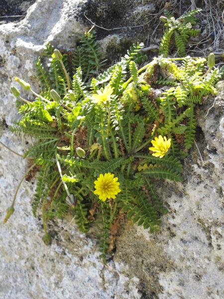 Hyoseris frutescens a Xlendi