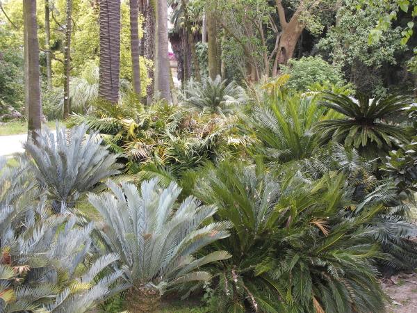 Jardin botanique de Lisbonne, cycadales