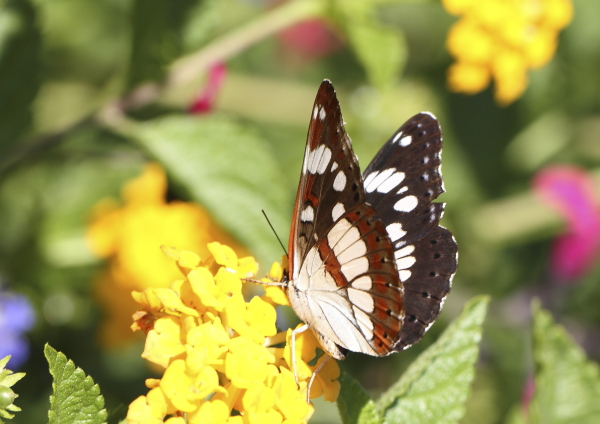 Limentis reducta revers des ailes