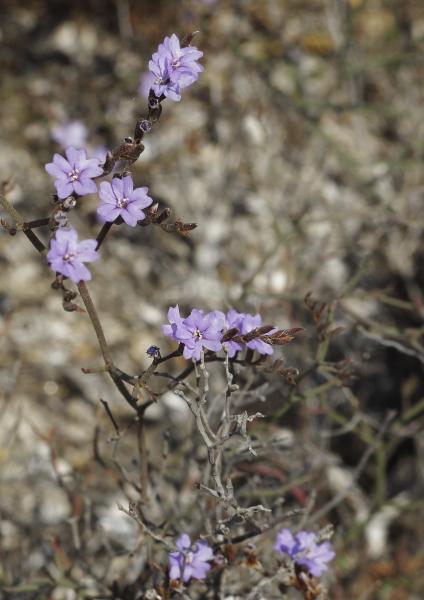 Limonium virgatum fleurs
