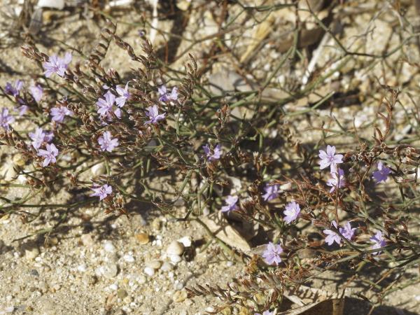 Limonium virgatum plante