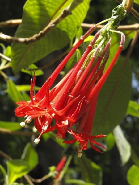 Fuschia boliviana
