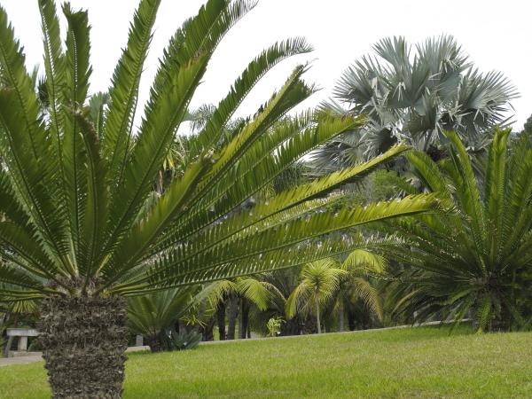 Madère jardin botanique cycadales