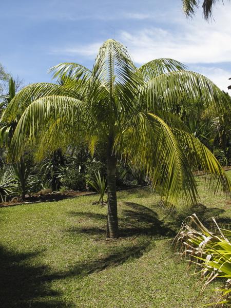 Madère jardin botanique palmiers