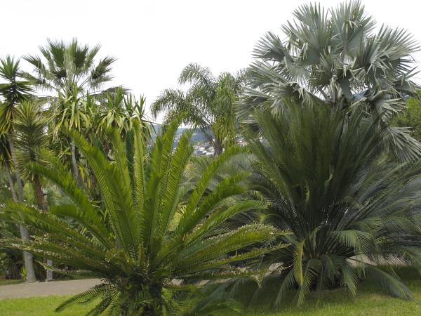 Madère jardin botanique palmiers cycadales