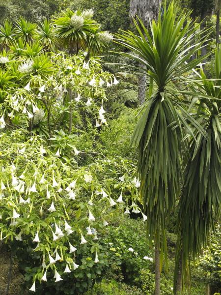 Madère, jardin du Monte Palace, Brugmantia