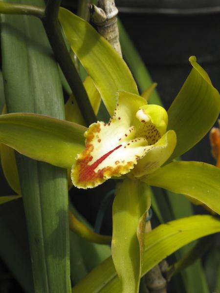 Madère, jardin du Monte Palace, orchidées