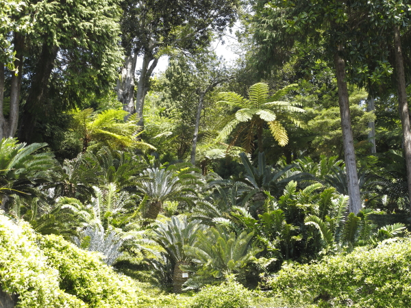 Madère, jardin du Monte Palace, cycadales