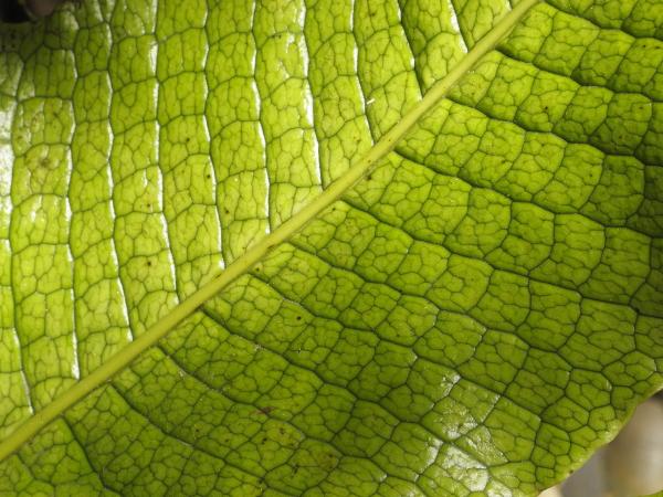 Microsorum musifolium détail