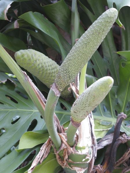 Montsera deliciosa, fructification