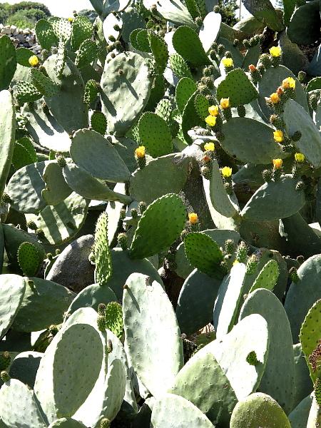 Opuntia ficus-indica détail