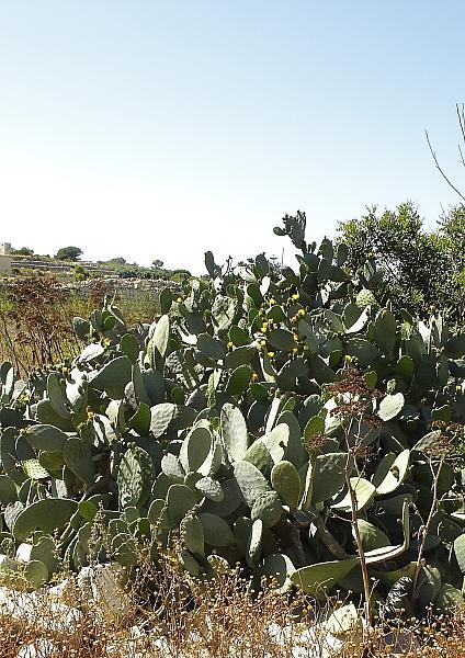 Opuntia indica
