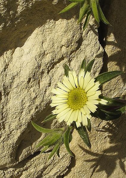 Palenis spinosa fleur