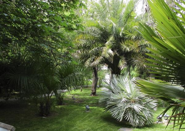 Palmiers en massif