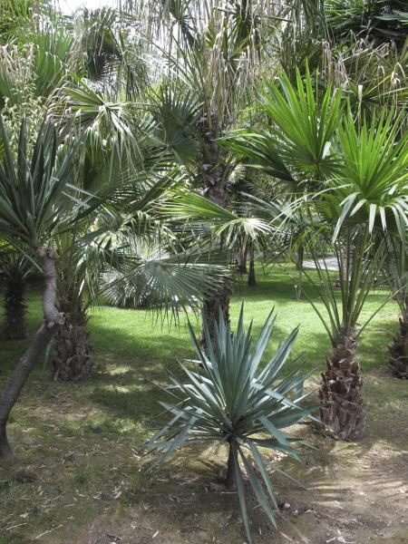 Palmiers et yucca