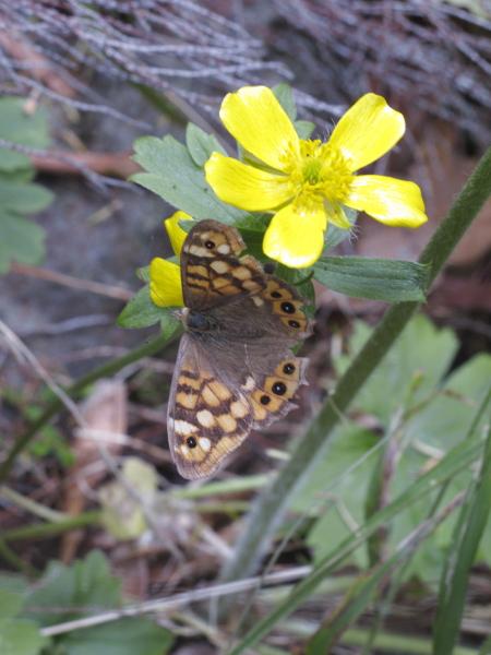 Pararge aegeria sur Ranunculus cortusifolius