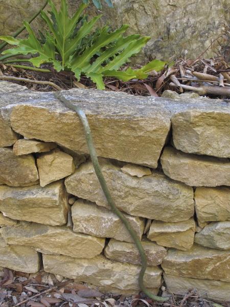 Philodendron bipinnatifidum, racine