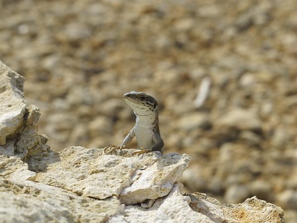 Podarcis filfolensis femelle portrait