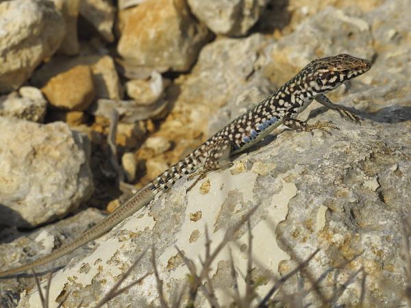 Podarcis filfolensis male ocelles