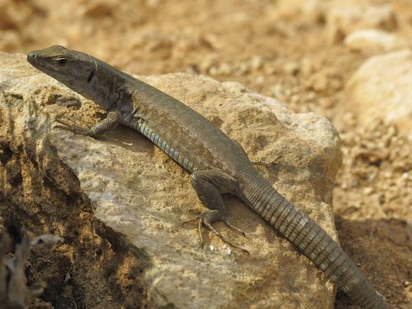 Podarcis folfolensis femelle