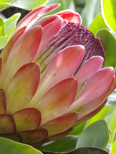 Protea eximia Sylvia