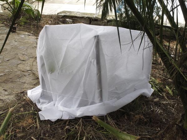 Protection hivernale Arenga engleri
