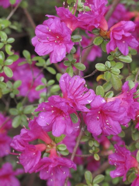 Jardin botanique de madrid jardinsud - Rhododendron ne fleurit pas ...