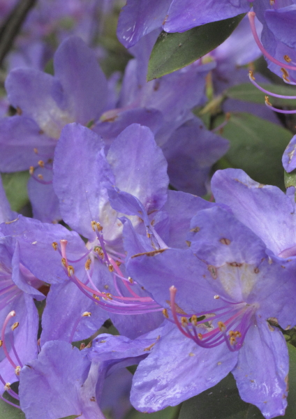 Rhododendron augustinii détail