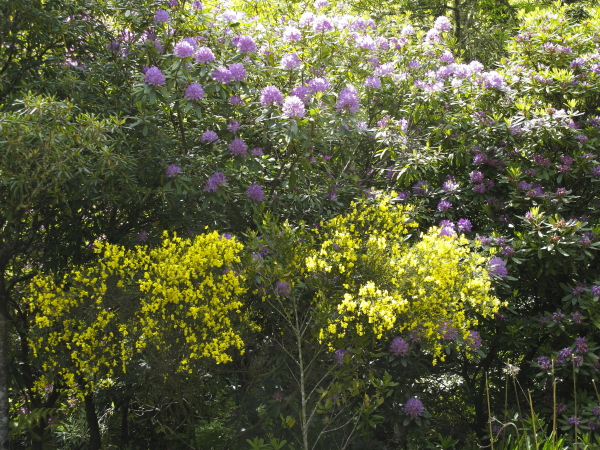 Rhododendron et genets