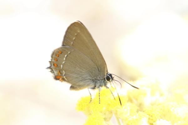 Satyrium ilicis sur Heiichrysum italicum