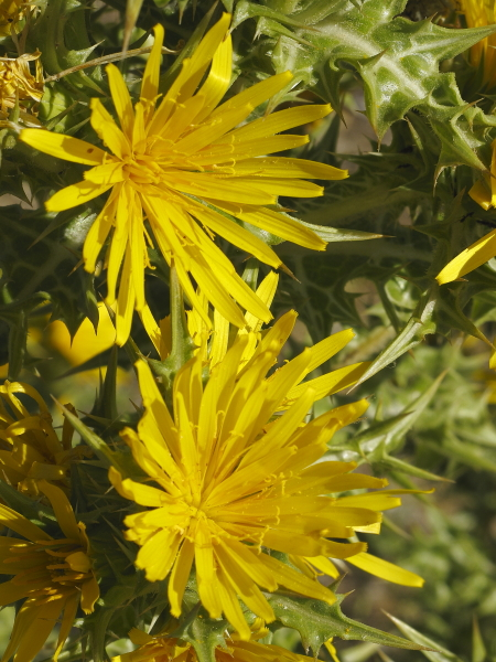 Scolymus hispanicum fleur