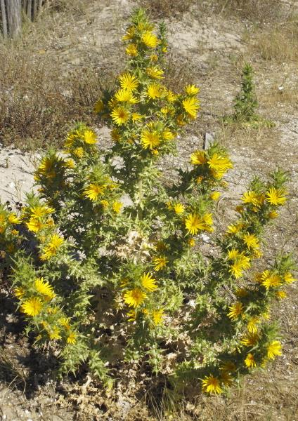 Scolymus hispanicum plante