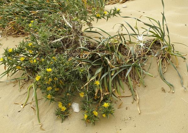 Scolymus hispanicus et Pancratium maritimum