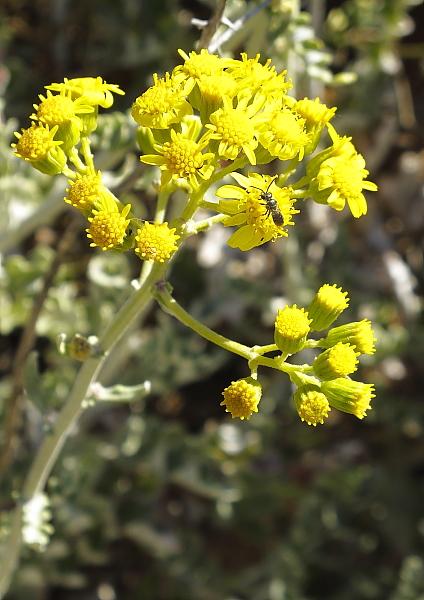 Senecio bicolor fleur