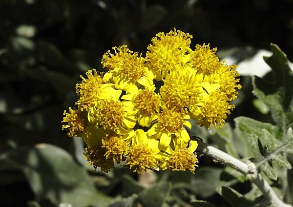Senecio bicolor jardin Argotti