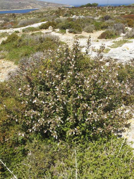 Teucrium flavum buisson