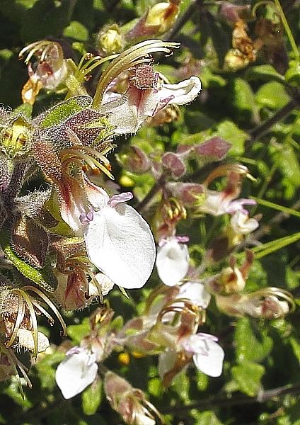 Teucrium flavum fleurs comino