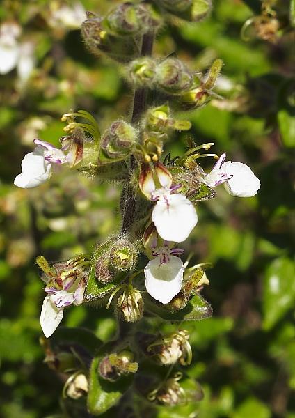Teucrium flavum fleurs