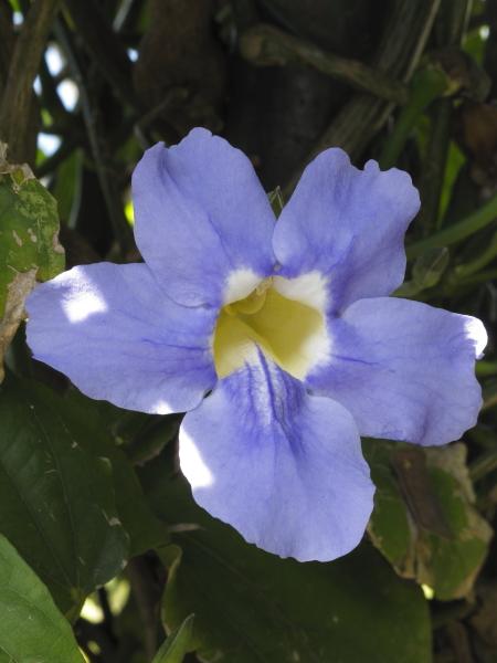 Thunbergia grandiflora madère