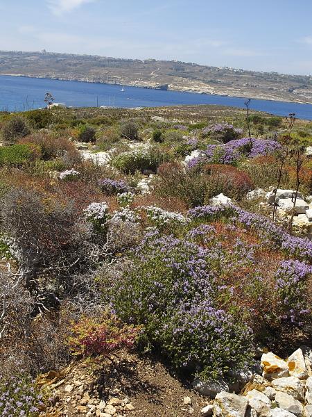 Thym capiteux Euphorbe de Malte