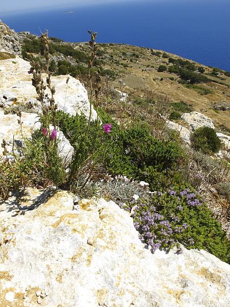 Thymus capitatus et Antirrhinum tortuosum