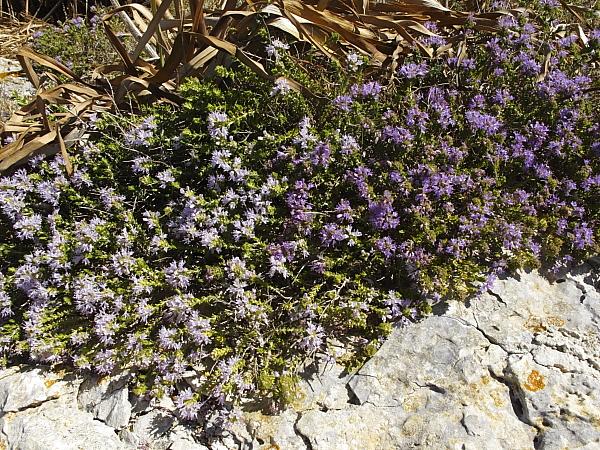 Thymus capitatus fleurs bicolor