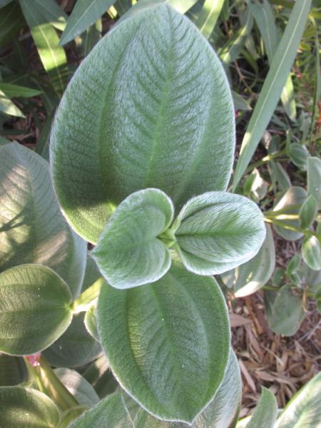 Tibuchina grandifolia