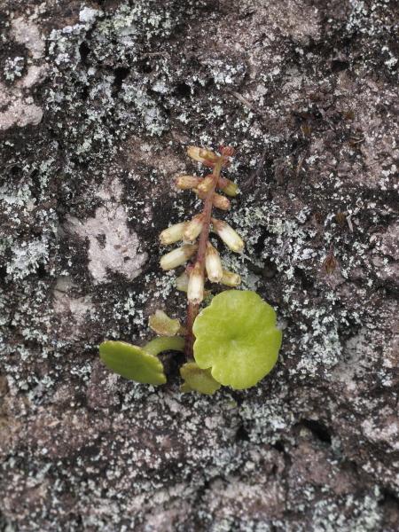 Umbilicum rupestris