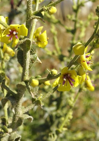 Verbascum sinuatum indigene